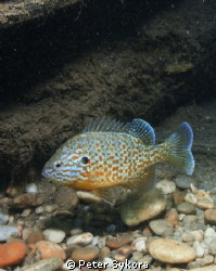 Lepomis Gibbosus by Peter Sykora 